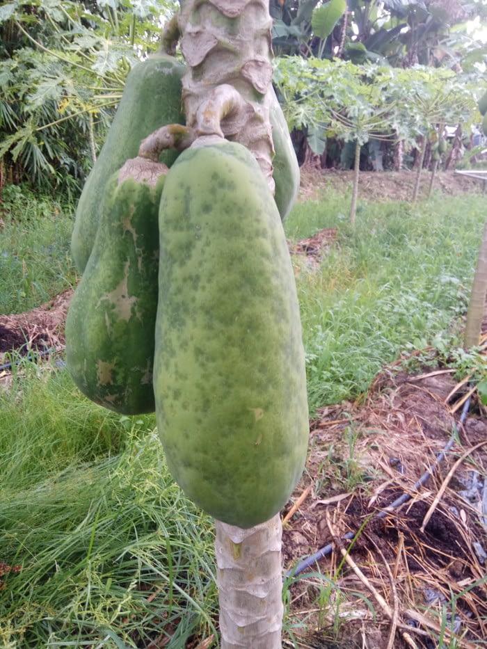 Papaya dieback disease