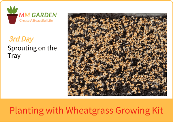 Wheatgrass Planting