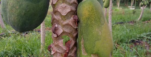 Papaya dieback disease