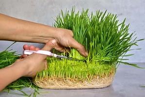 trim wheat grass