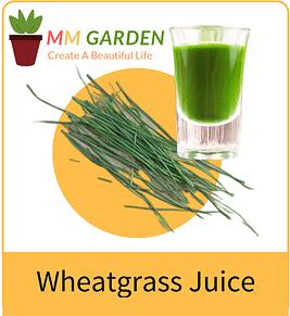 organic wheatgrass juice