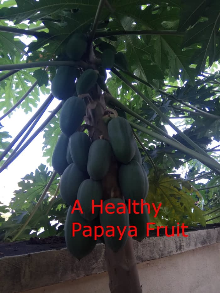 Healthy Papaya tree