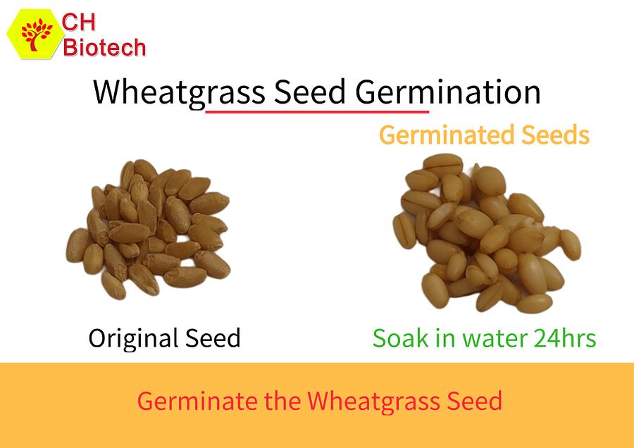 Wheatgrass Seeds